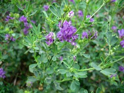 Glosario y propiedades mágicas de las plantas Alfalfa