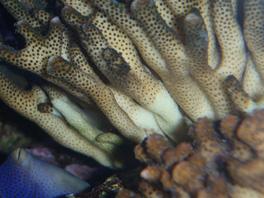 nécrose des coraux Post-986-0-55968800-1381661148