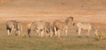 الحمار الوحشى Zebre