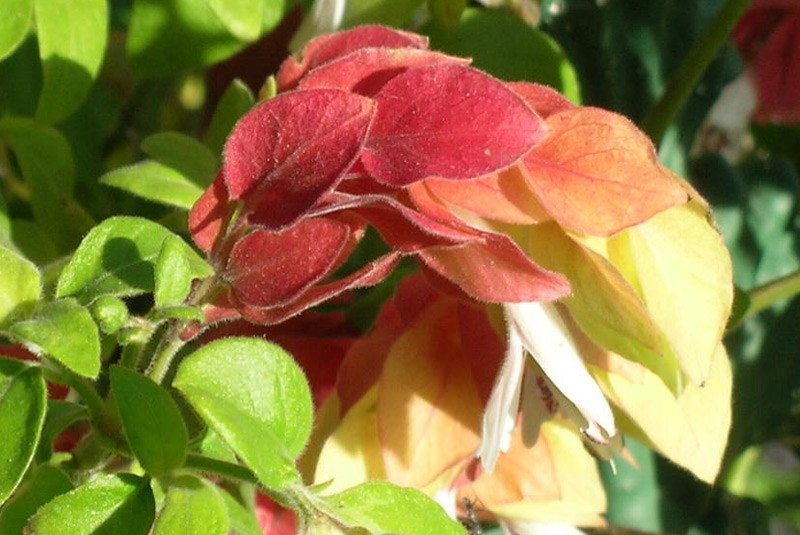 une plante  fleur -ajonc-1er février trouvée par Martin - Page 2 Justicia-brandegeana-800x535