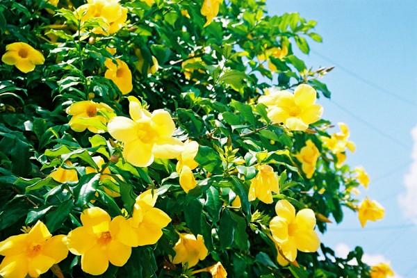 SO e apenas FLOR Alamand_amarela-PE_grd