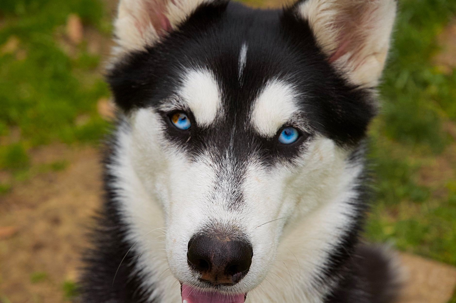 1 year old husky with reoccurring diarrhea  Cheyenne-pic-for-messageboard
