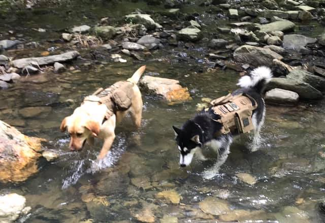 1 year old husky with reoccurring diarrhea  Cheyenne-shilo-messageboard