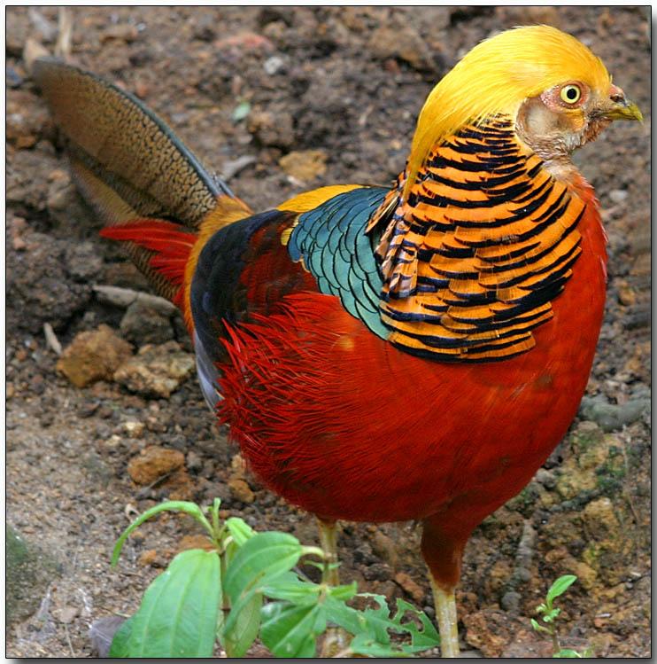 Les oiseaux : la passion de Marylou - Page 27 Faisan-dore-2