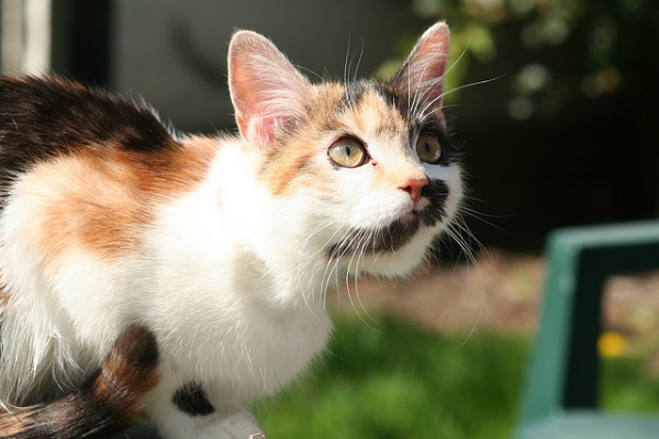 Nightfang of Stagclan  600-calico-cat