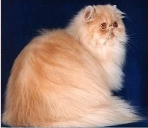 صور قطط جميلة Persiancat