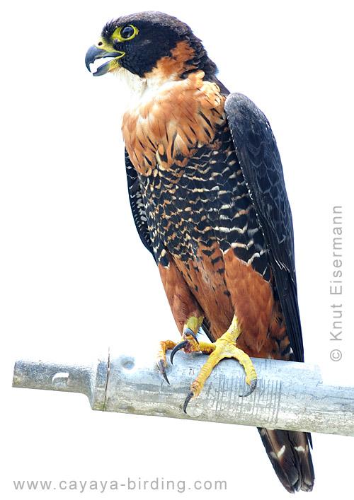 Falconiformes. sub Falconidae - sub fam Falconinae - gênero Falco Tikal_faldei