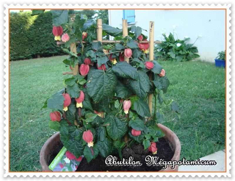 une fleur à découvrir par blucat (21juillet)trouvée par ajonc - Page 3 Blog-702-l-abutilon-megapotamicum-170511024301-8895786003