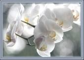 Sr Françoise Lachapelle 147071_orchidee