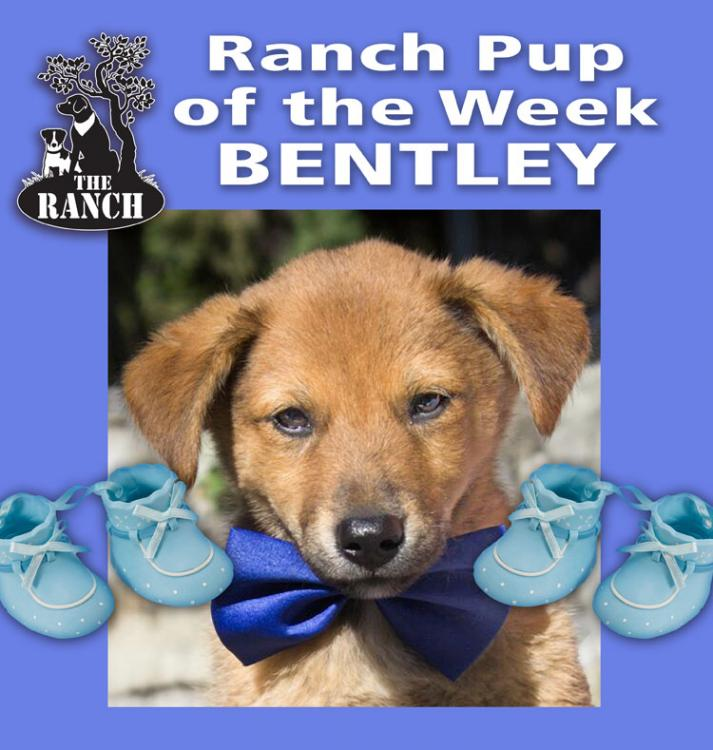Ranch Pup of the Week – ODEN BRAVE ONE 5a2031a3517b1_RDOW_BENTLY750.thumb.jpg.b412507349f119268fbb4f5513117a4c