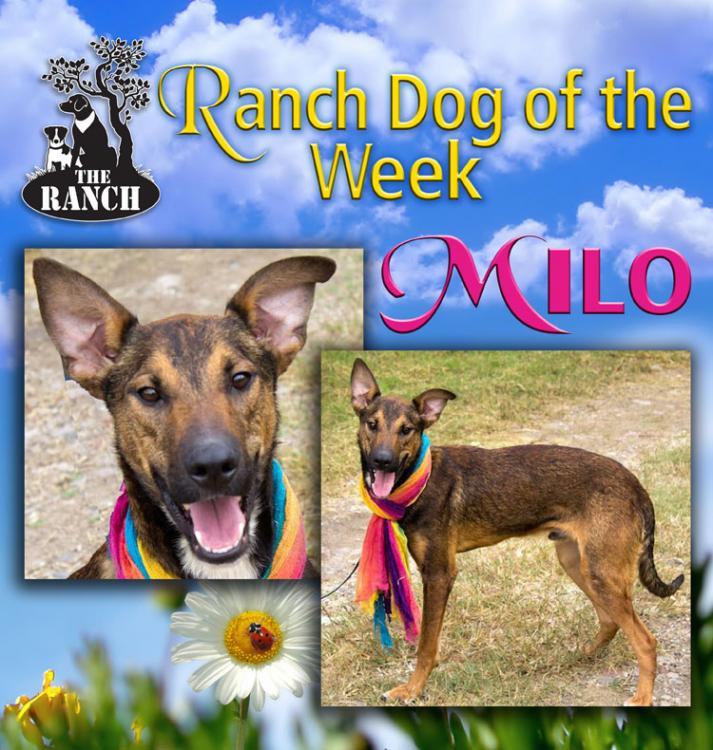 Ranch Dog of the Week –  MIRACULOUS MILO 5a41ddb19a142_RDOW_MILO750.thumb.jpg.9ffd1c61d448c98d2e8ad3913807eeec