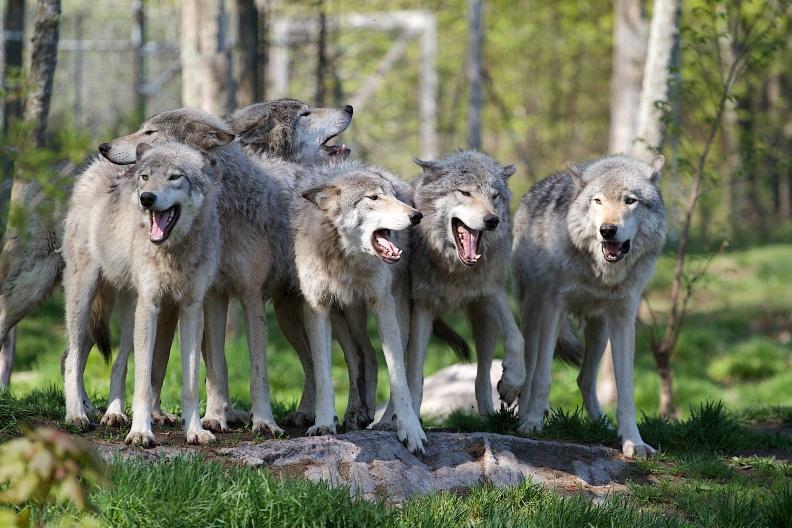 Gestion du loup : une rencontre Franco-Espagnole entre administrations, éleveurs et chasseurs  Loups