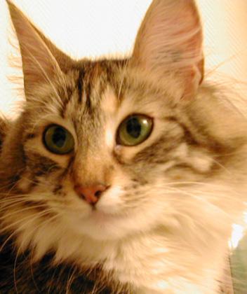 8 août : Journée internarionale du chat — le chat dans toute sa beauté Norvegien_fidji2