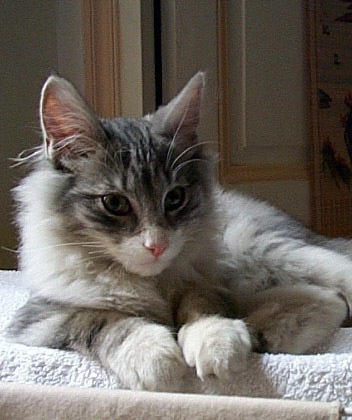 8 août : Journée internarionale du chat — le chat dans toute sa beauté Norvegien_swan2