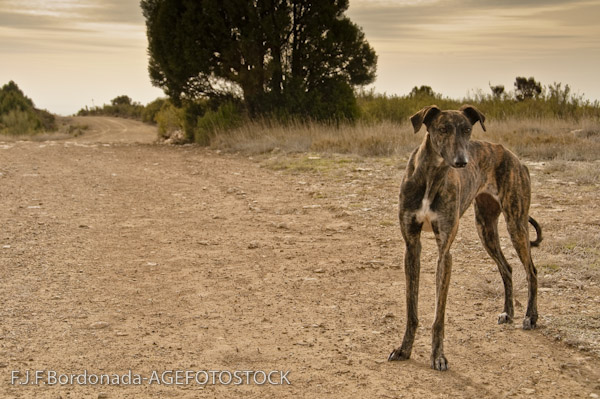 Dogs - Page 2 Galgo