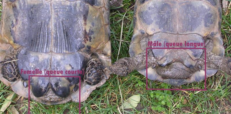 Différencier mâle et femelle : généralité Sexe-tortue