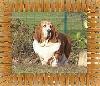 En veux tu en voila ( dite Eva) des vents de la genête TN_chiens-Basset-Hound-6588a35a-ace2-2214-f59b-0ed3bdb58d2d