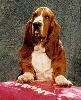 En veux tu en voila ( dite Eva) des vents de la genête TN_chiens-Basset-Hound-afa2cf2a-5224-70a4-c9c5-576978ed97cd
