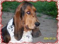 En veux tu en voila ( dite Eva) des vents de la genête TN200_chiens-Basset-Hound-58d81f65-616b-c3f4-059a-b4b31df49b53
