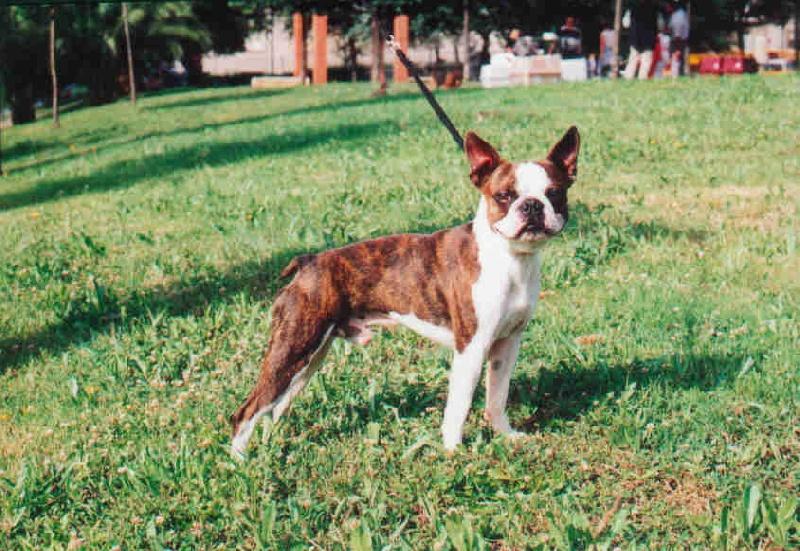 LE TERRIER DE BOSTON - Page 10 Chiens-Boston-Terrier-62e3156a-80d6-2c64-0d25-d7b7c3410316