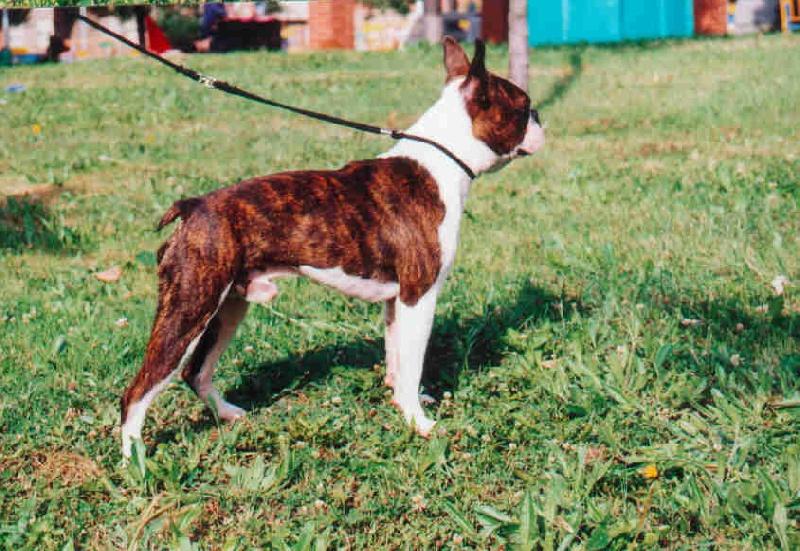 LE TERRIER DE BOSTON - Page 10 Chiens-Boston-Terrier-03e4abc8-b854-3224-ed7e-c6d859bfbd73