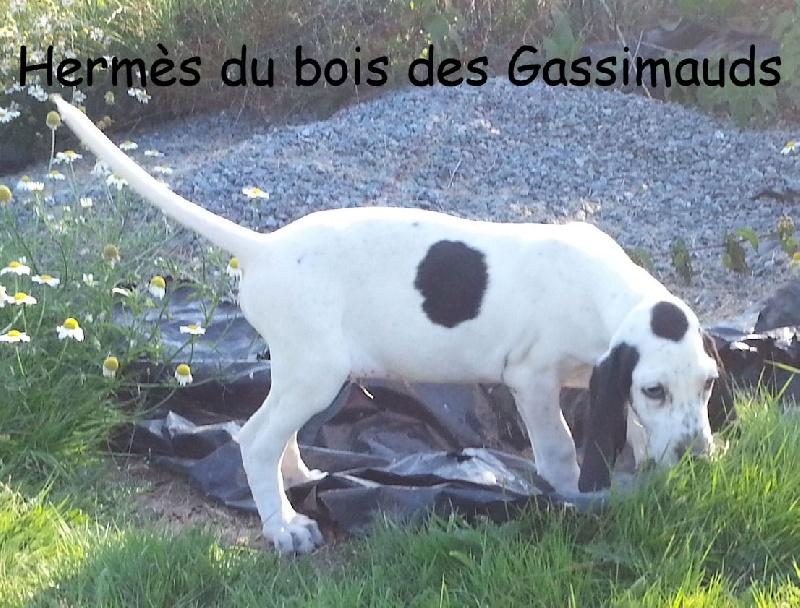 petit gascon saintongeois Dab3ea37-a1ef-f314-4554-678b967389e8