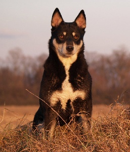 lapinkoira - Le chien finnois de laponie (le lapinkoira) quelqu'un connait ? 90587020-575f-43d4-4908-17b2f14ab61e