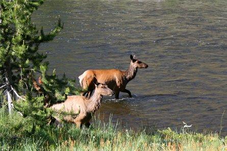 un animal  - ptit loulou - le 4novembre trouvé par Paul Yellowstone-wapiti-01