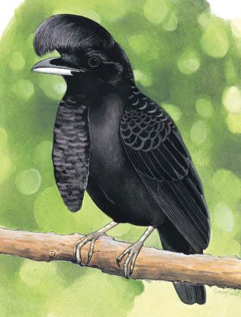 طائر المظلة الطويلالغريب Umbrellabird