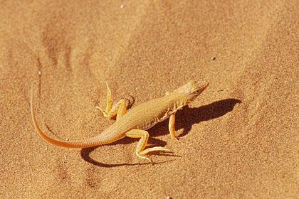 Incroyables animaux ! Lezard-sable-dune-chaleur-1zm