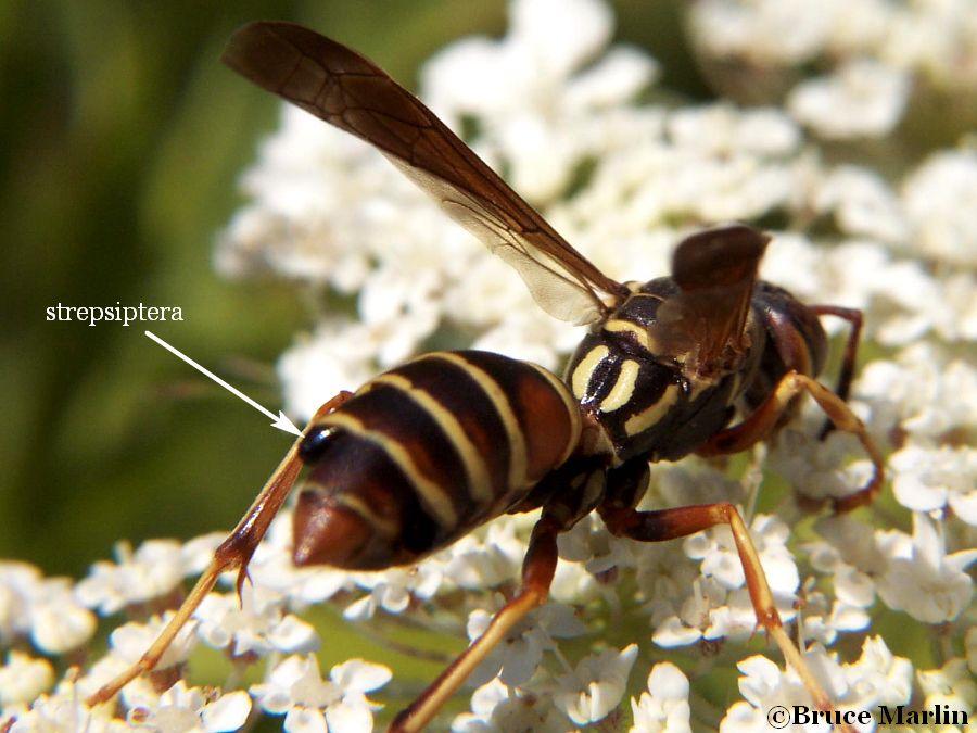 Bộ sưu tập côn trùng 2 - Page 26 Strepsiptera_paper_wasp