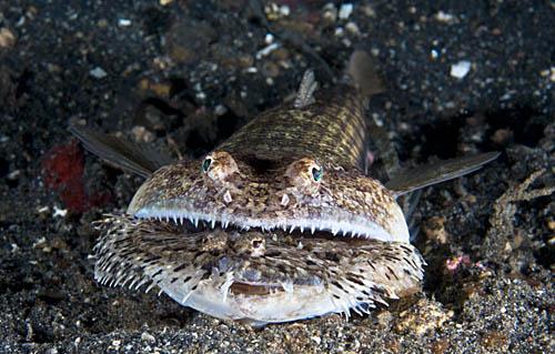 un animal - blucat - 31 août trouvé par martine IndL_lizardfish_eating