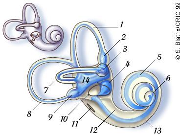 Vestibule Gyro and Accelerometer Triads, by evolution, or design ?  Les-deux-organes-sensoriels-de-l-oreille-interne-le-vestibule-et-la-cochlee