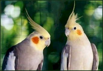 طيور الزينة Br_pair