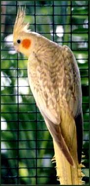طيور الزينة Lacewingpp(e)