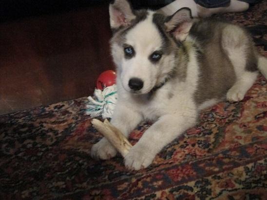 Jasparr puppy (updated 10/6/2013) Puppy-3
