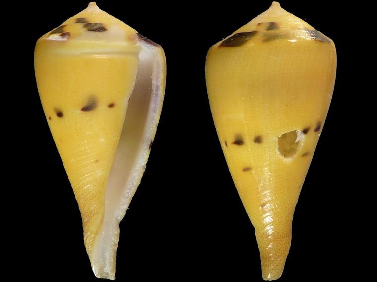Cones (sans doute juvéniles) à identifier = conus vexillum et capitenaeus 10937