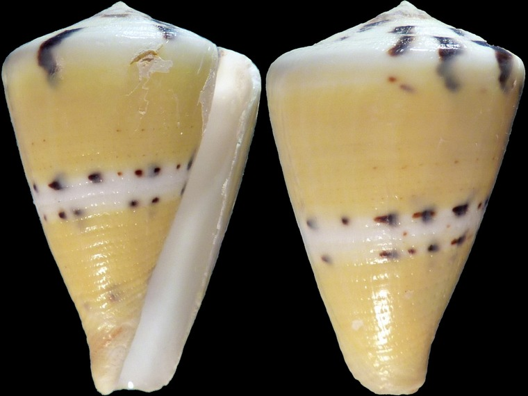 Cones (sans doute juvéniles) à identifier = conus vexillum et capitenaeus 11041
