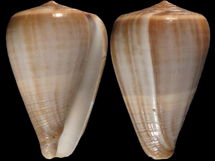 Cone (origine probable : Inde) = Dendroconus_loroisii 11053s
