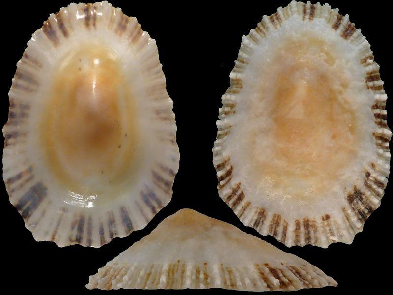 Patella intermedia + Patella vulgata à confirmer + 1 autre Patelle portuguaise  14751
