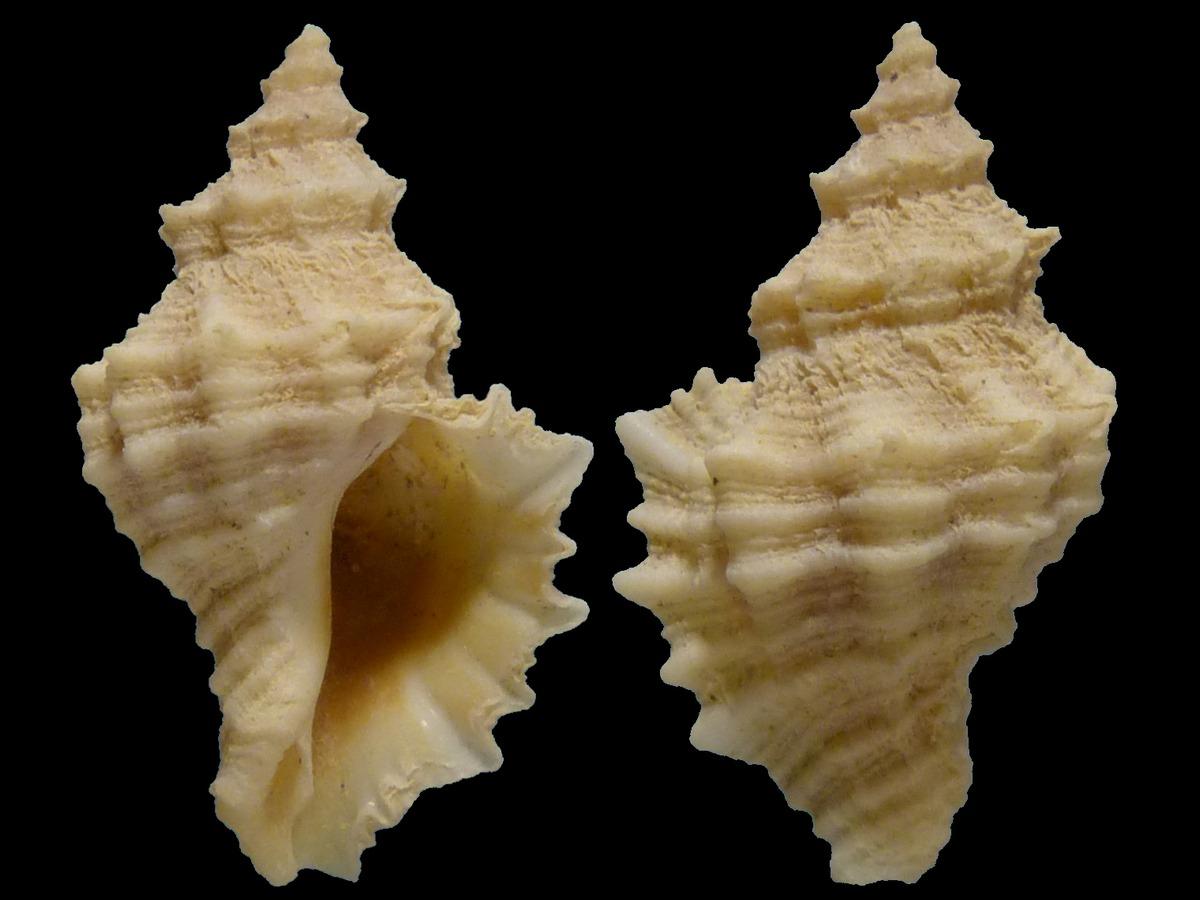 Ocenebra hispidula - (Pallary, 1904) 17600