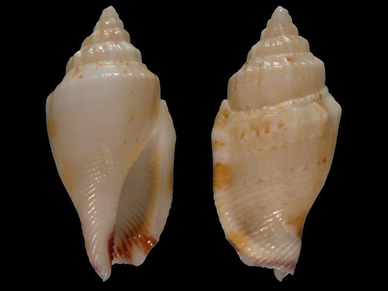 Canarium wilsonorum - (Abbott, 1967) 40079B