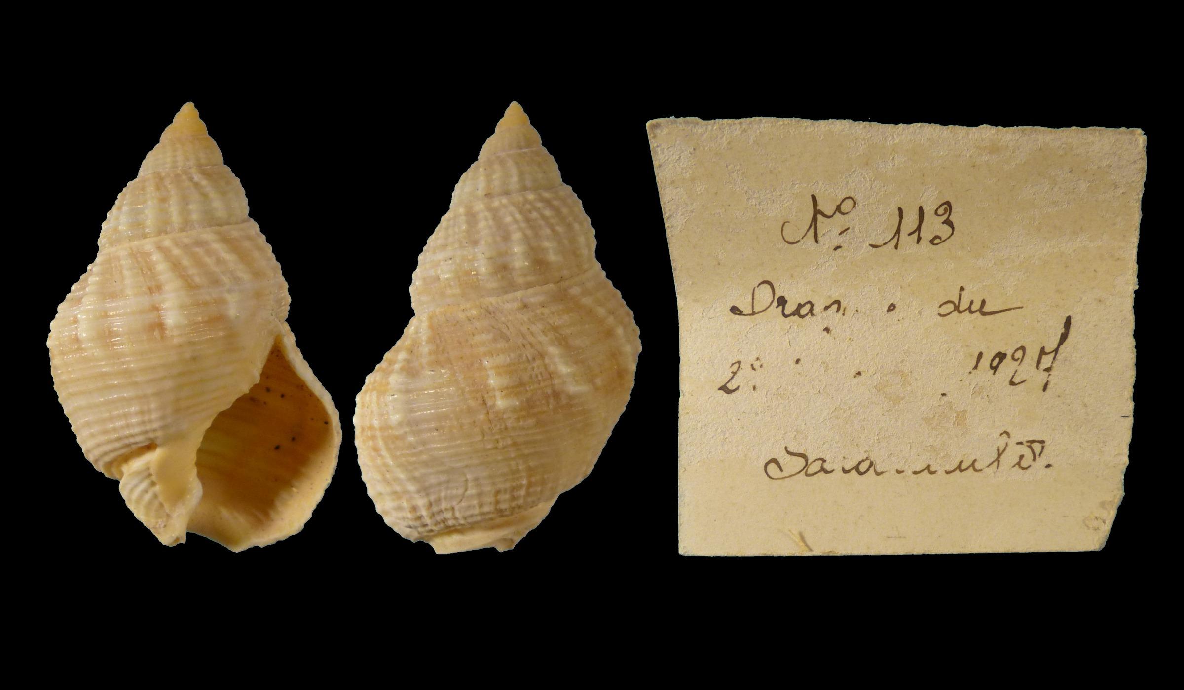 Nassarius fossatus - (Gould, 1850) 60729E