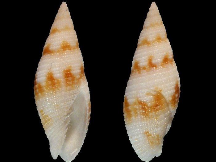 Neocancilla maculosa - (Gmelin, 1791) 40880