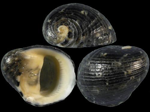 Nerita patula - Récluz, 1841 7737
