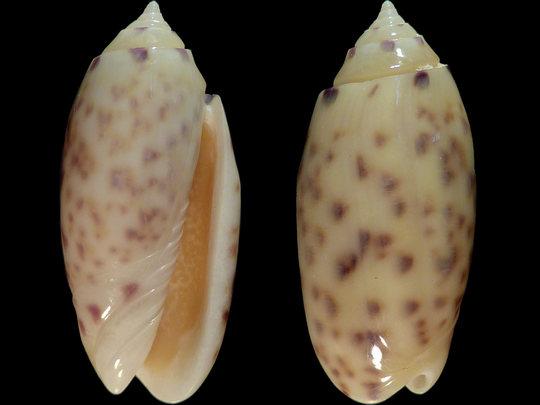 Annulatoliva amethystina (Röding, 1798) - Worms = Oliva amethystina amethystina (Röding, 1798) - Page 2 9537