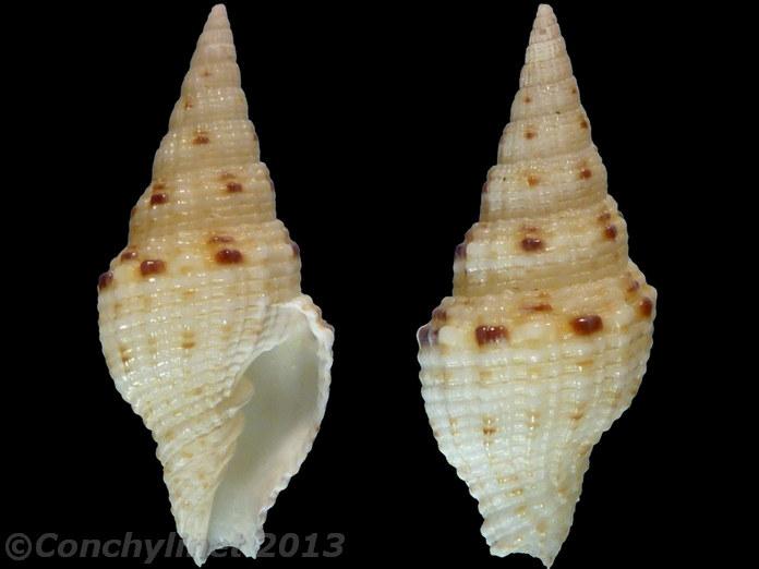 Vexillum corbicula - (G. B. Sowerby II, 1870) 10110