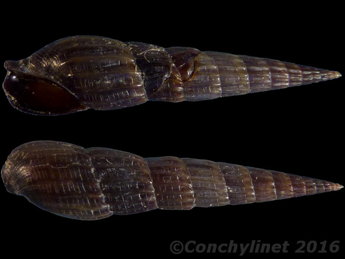 Terebridae d'Indonésie  Avis de MITRIDAE Jean Claude demandé Merci 12639