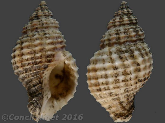 Gastéropode texan à identifier 13053