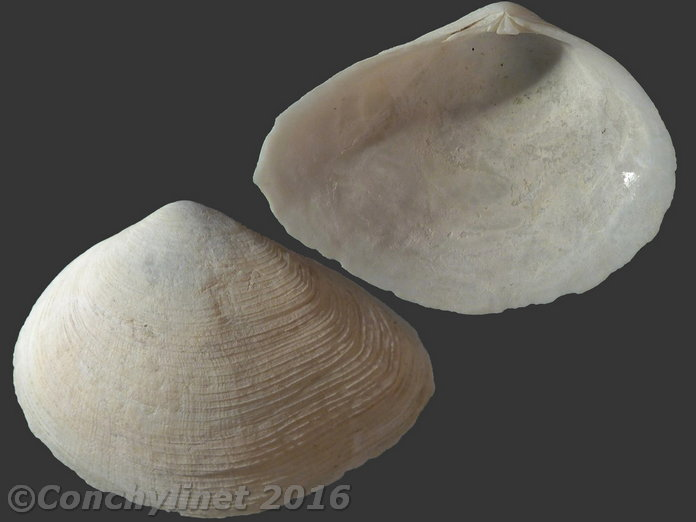 Coquille étiquettée de Bretagne 13170